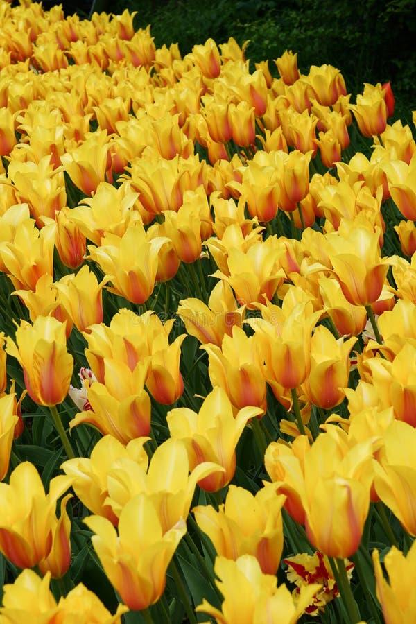 Όμορφος τομέας των κίτρινων τουλιπών στοκ φωτογραφίες με δικαίωμα ελεύθερης χρήσης