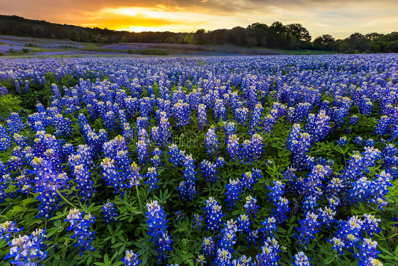 Όμορφος τομέας Bluebonnets στο ηλιοβασίλεμα κοντά στο Ώστιν, Τέξας στο spri στοκ εικόνα με δικαίωμα ελεύθερης χρήσης