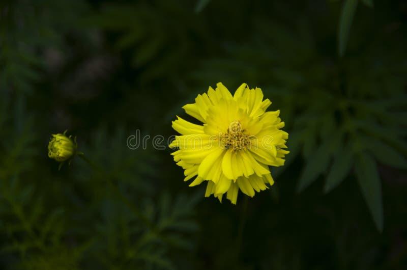 Όμορφος του κίτρινου κεφαλιού λουλουδιών σταθμεύστε δημόσια σε Chiang Mai, Ταϊλάνδη στοκ φωτογραφία