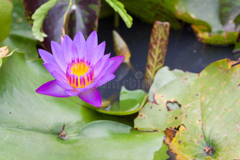 Όμορφος του πορφυρού λωτού που επιπλέει σε μια λίμνη στοκ εικόνες με δικαίωμα ελεύθερης χρήσης