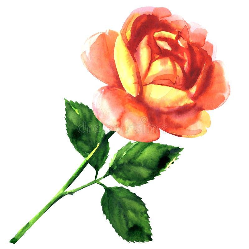 Όμορφος τρυφερός ρόδινος κίτρινος αυξήθηκε, ενιαίο λουλούδι με το φύλλο, που απομονώθηκε, συρμένη χέρι απεικόνιση watercolor στο  διανυσματική απεικόνιση
