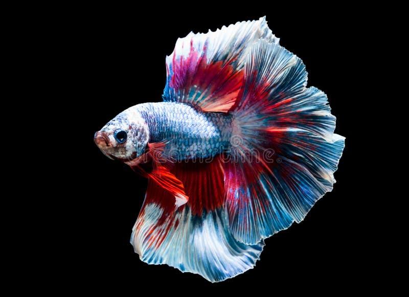 Όμορφος των ψαριών του Σιάμ Betta στην Ταϊλάνδη στο άσπρο υπόβαθρο στοκ φωτογραφία με δικαίωμα ελεύθερης χρήσης