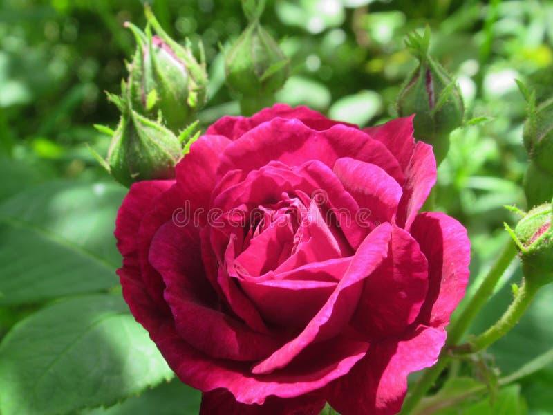 Όμορφος & φωτεινός κόκκινος αυξήθηκε άνθος λουλουδιών την άνοιξη του 2019 του Βανκούβερ στοκ εικόνα με δικαίωμα ελεύθερης χρήσης