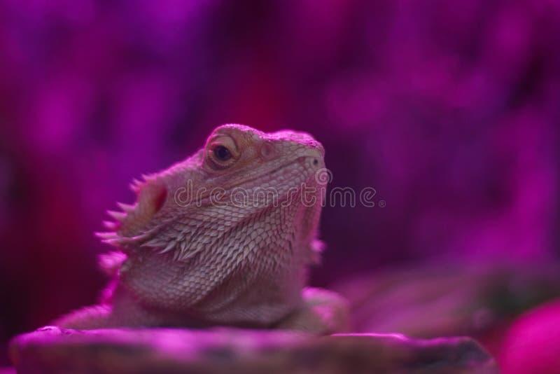 Όμορφος φωτεινός χαμαιλέοντας στα χρώματα νέου Πολύχρωμος όμορφος έρπων χαμαιλέοντας με το φωτεινό δέρμα Τροπικό ζώο στο φως νέου στοκ φωτογραφία με δικαίωμα ελεύθερης χρήσης