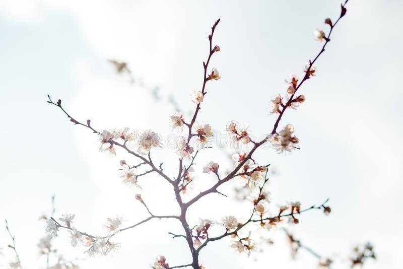 Όμορφος χρόνος δέντρων βερικοκιών ανθίσματος την άνοιξη στοκ εικόνα με δικαίωμα ελεύθερης χρήσης