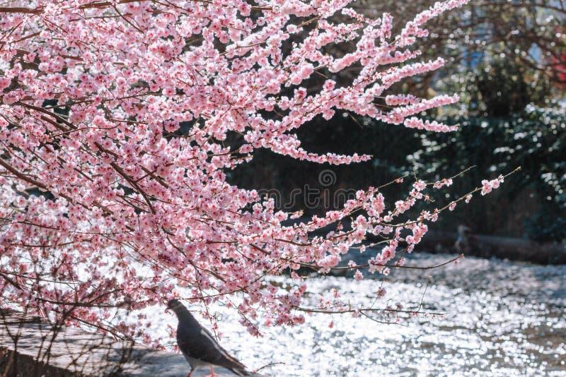 Όμορφος χρόνος sakura ανθών κερασιών την άνοιξη στοκ εικόνα