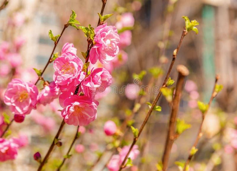 Όμορφος χρόνος sakura ανθών κερασιών την άνοιξη στο αστικό υπόβαθρο στοκ εικόνα με δικαίωμα ελεύθερης χρήσης