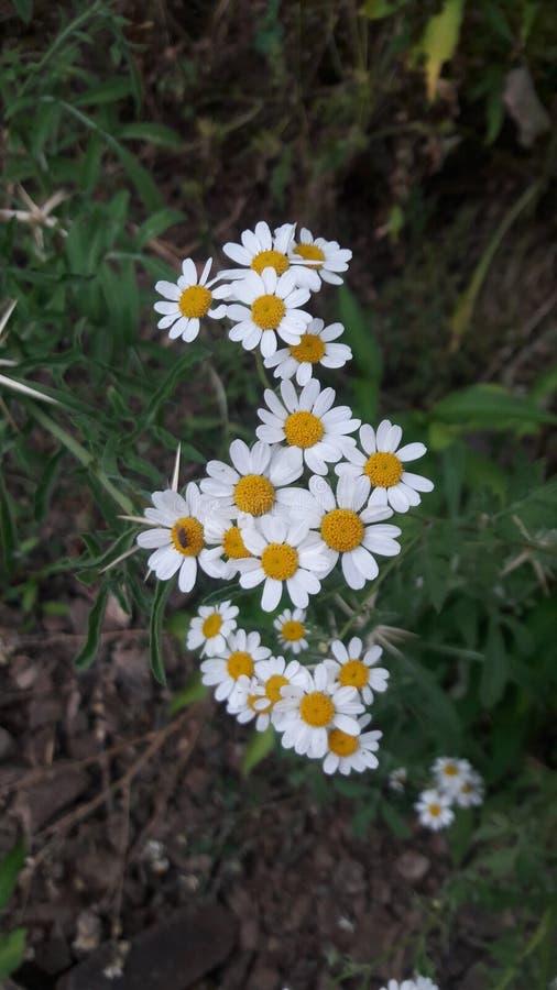 Όμορφος chamomile στοκ φωτογραφία με δικαίωμα ελεύθερης χρήσης