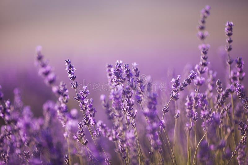 Όμορφος lavender τομέας στο ηλιοβασίλεμα στοκ εικόνα