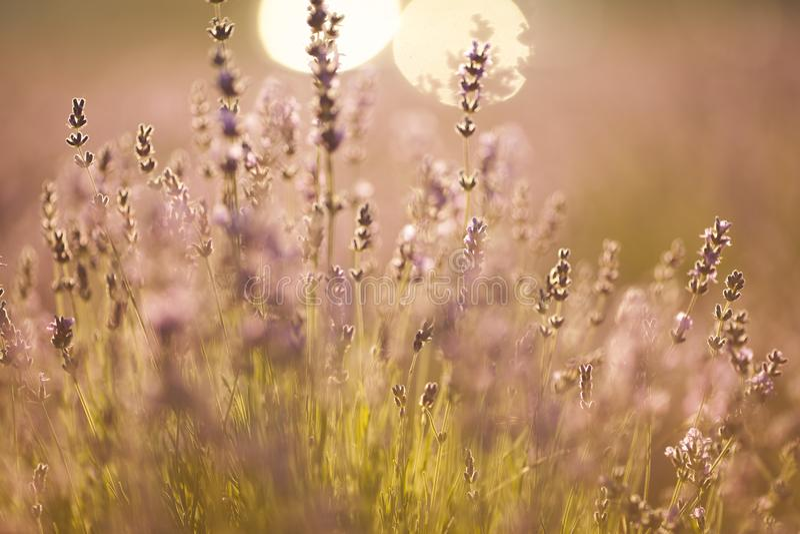 Όμορφος lavender τομέας στο ηλιοβασίλεμα στοκ φωτογραφία με δικαίωμα ελεύθερης χρήσης