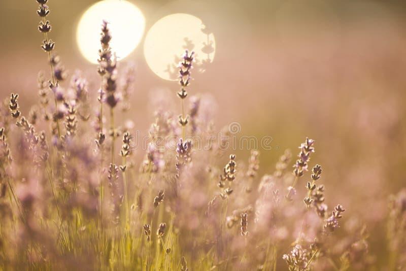 Όμορφος lavender τομέας στο ηλιοβασίλεμα στοκ εικόνα με δικαίωμα ελεύθερης χρήσης