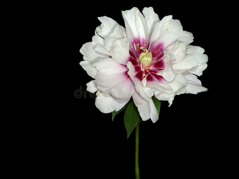 όμορφος peony αντιπροσωπευτικός πλούτος ευτυχίας στοκ φωτογραφίες
