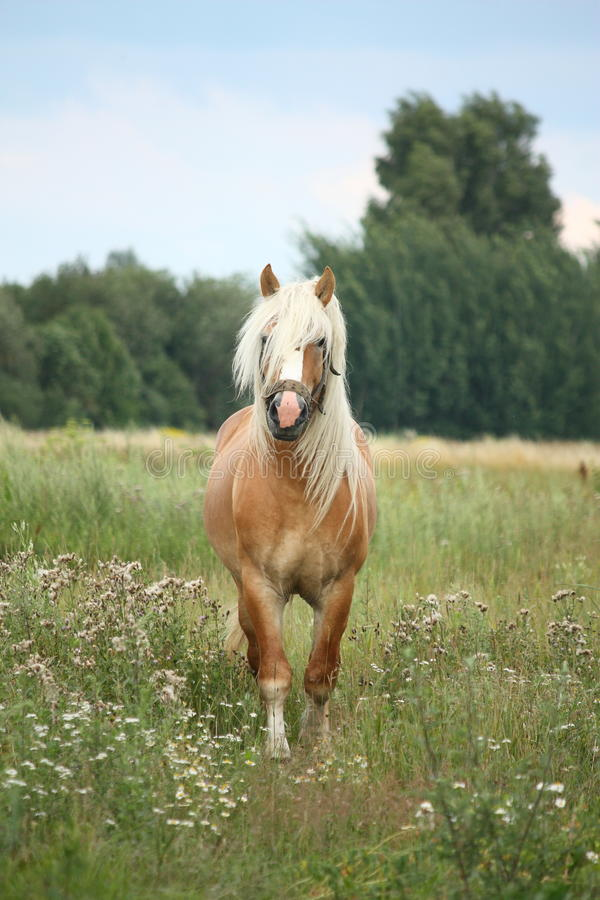 Όμορφο άλογο έλξης palomino που περπατά στο πεδίο στοκ εικόνες
