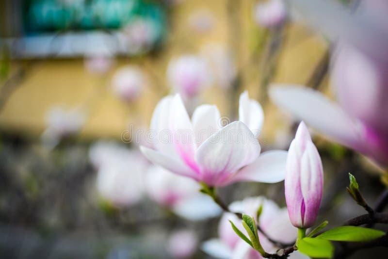 Όμορφο άνθισμα, ανθίζοντας δέντρο - όμορφο άνθισε κλάδος λουλουδιών magnolia την άνοιξη στοκ εικόνα