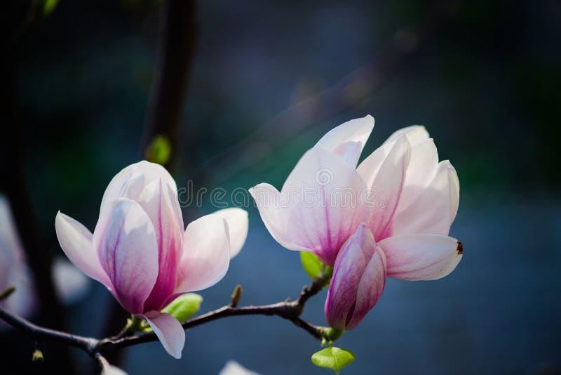 Όμορφο άνθισμα, ανθίζοντας δέντρο - όμορφο άνθισε κλάδος λουλουδιών magnolia την άνοιξη στοκ φωτογραφίες με δικαίωμα ελεύθερης χρήσης