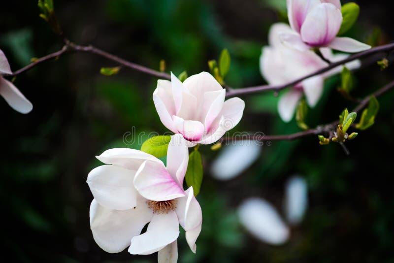 Όμορφο άνθισμα, ανθίζοντας δέντρο - όμορφο άνθισε κλάδος λουλουδιών magnolia την άνοιξη στοκ εικόνα με δικαίωμα ελεύθερης χρήσης