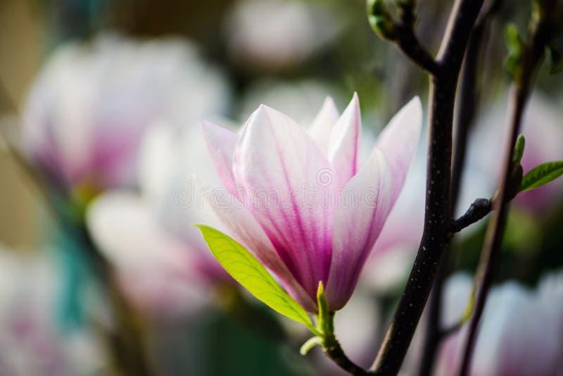 Όμορφο άνθισμα, ανθίζοντας δέντρο - όμορφο άνθισε κλάδος λουλουδιών magnolia την άνοιξη στοκ φωτογραφίες