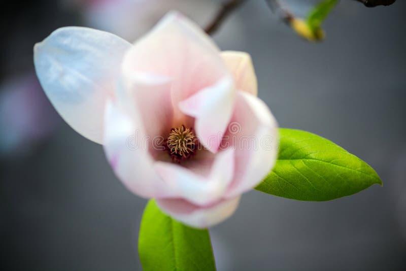 Όμορφο άνθισμα, ανθίζοντας δέντρο - όμορφο άνθισε κλάδος λουλουδιών magnolia την άνοιξη στοκ φωτογραφία