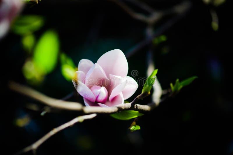 Όμορφο άνθισμα, ανθίζοντας δέντρο - όμορφο άνθισε κλάδος λουλουδιών magnolia την άνοιξη στοκ φωτογραφία με δικαίωμα ελεύθερης χρήσης