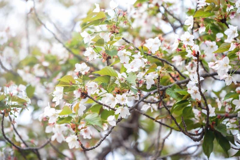 Όμορφο άνθος κερασιών  Χρόνος Sakura την άνοιξη στο Κιότο, Ιαπωνία στοκ εικόνα
