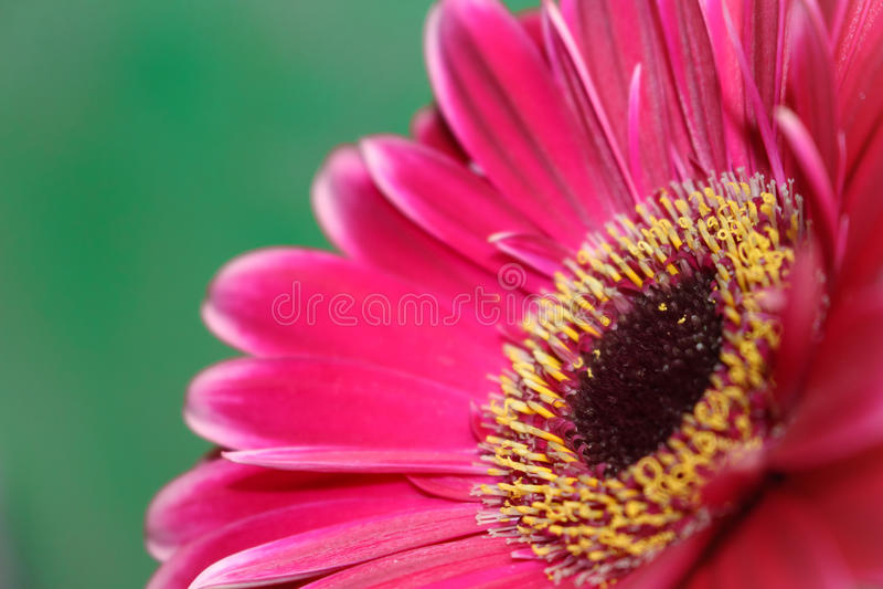 Όμορφο άνθος λουλουδιών Gerbera στοκ εικόνα