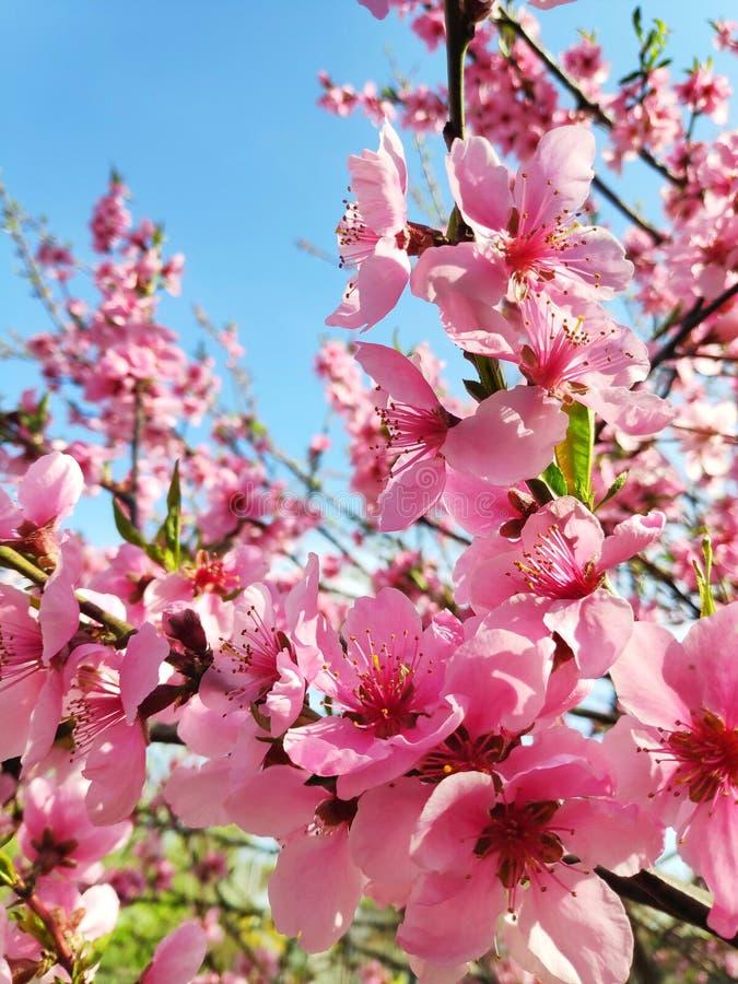 όμορφο άνθος ροδάκινων στοκ εικόνες