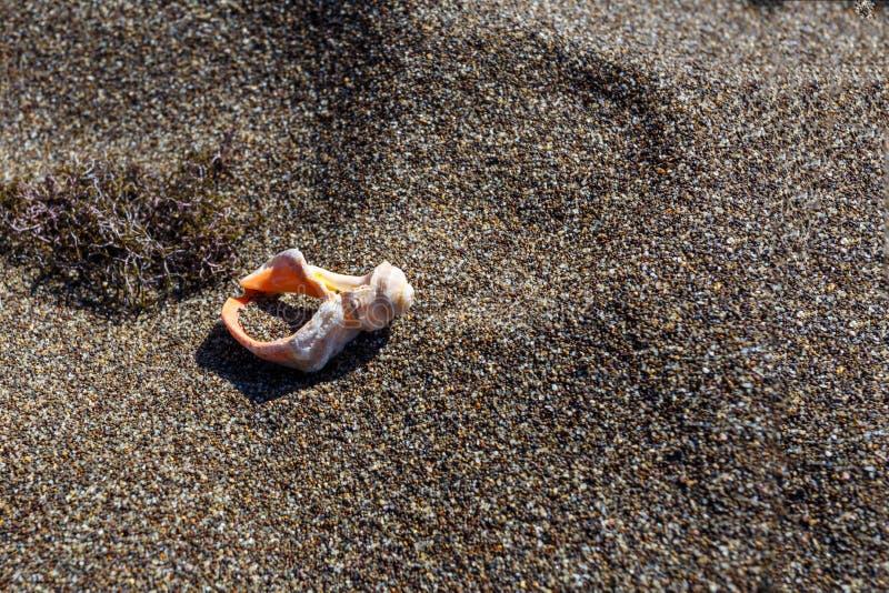 Όμορφο άσπρο κοχύλι θάλασσας στο υπόβαθρο άμμου στοκ εικόνα