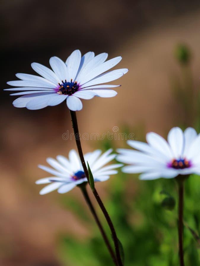 Όμορφο άσπρο λουλούδι μαργαριτών ακρωτηρίων με το σαφές υπόβαθρο στοκ εικόνα με δικαίωμα ελεύθερης χρήσης