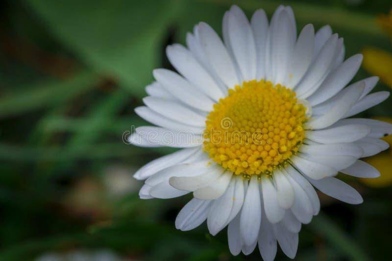 Όμορφο άσπρο λουλούδι στην πράσινη χλόη Chamomile στοκ φωτογραφία