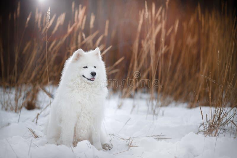 Όμορφο άσπρο σκυλί Samoyed στοκ εικόνα