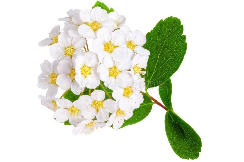 Όμορφο άσπρο aguta Spirea θάμνων ανθίσματος (στεφάνι νυφών). στοκ εικόνα