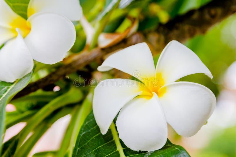 Download Όμορφο άσπρο frangipani στοκ εικόνα. εικόνα από εποχιακός - 62718399