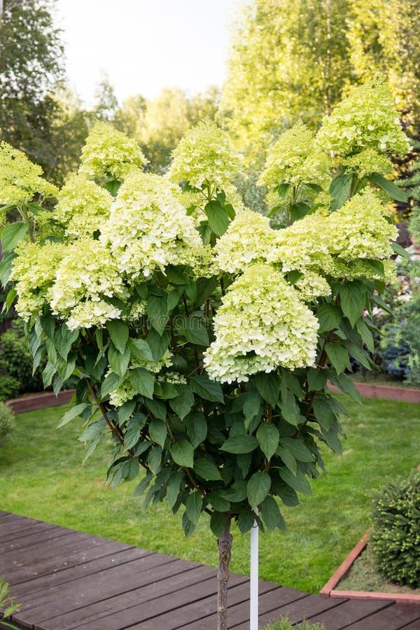 Όμορφο άσπρο hydrangea άνθισης stam στον κήπο στοκ φωτογραφίες με δικαίωμα ελεύθερης χρήσης