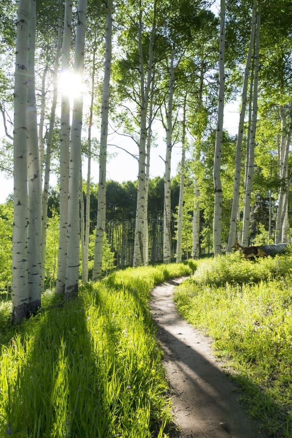 Όμορφο ίχνος πεζοπορίας βουνών μέσω των δέντρων της Aspen Vail Κολοράντο στοκ φωτογραφίες