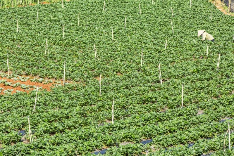 Όμορφο αγρόκτημα φραουλών στοκ φωτογραφίες