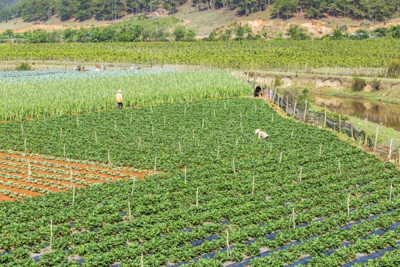 Όμορφο αγρόκτημα φραουλών στοκ εικόνα