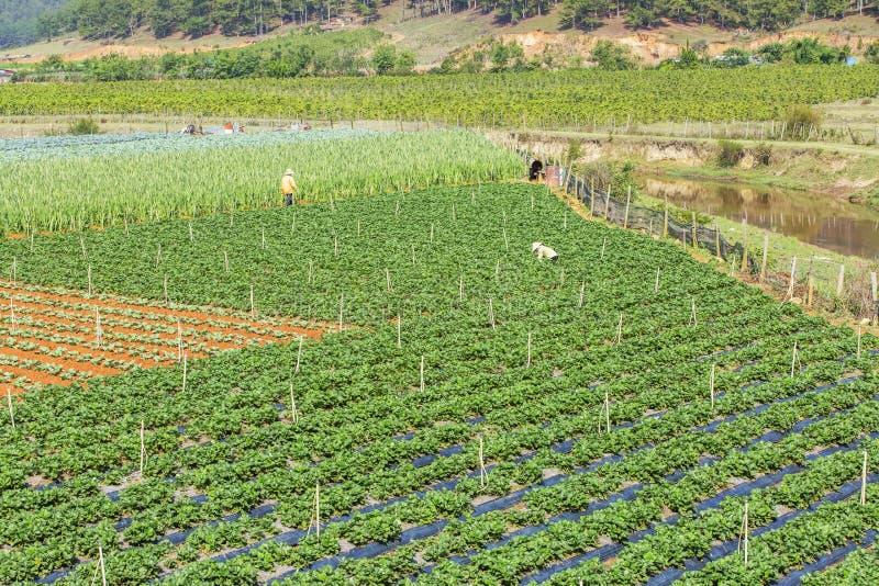 Όμορφο αγρόκτημα φραουλών στοκ εικόνα με δικαίωμα ελεύθερης χρήσης
