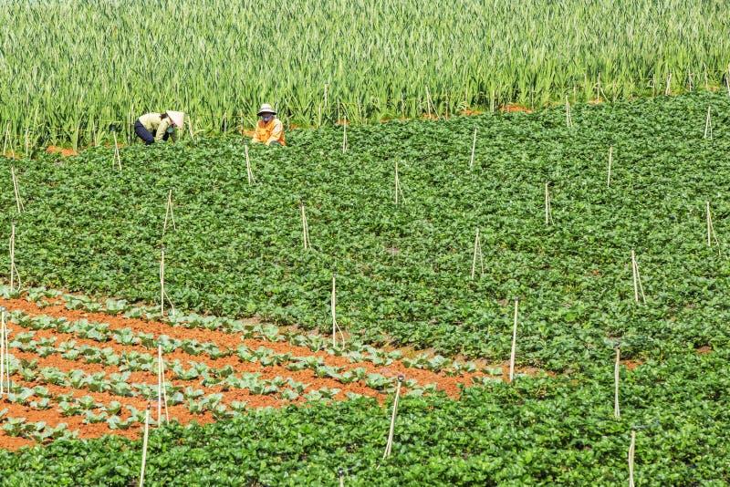 Όμορφο αγρόκτημα φραουλών στοκ φωτογραφίες με δικαίωμα ελεύθερης χρήσης
