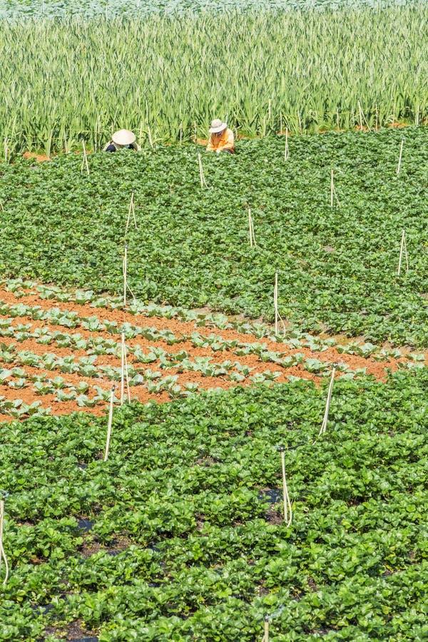 Όμορφο αγρόκτημα φραουλών στοκ φωτογραφία