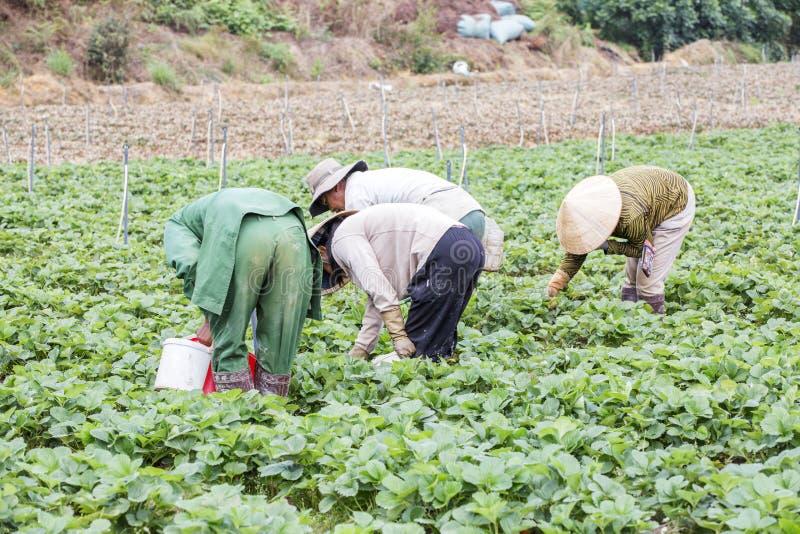 Όμορφο αγρόκτημα φραουλών στοκ φωτογραφία με δικαίωμα ελεύθερης χρήσης