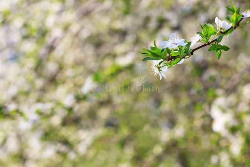 Όμορφο ανθίζοντας δέντρο άνοιξη κινηματογραφήσεων σε πρώτο πλάνο στοκ εικόνα