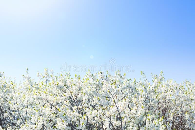 Όμορφο ανθίζοντας δέντρο άνοιξη κινηματογραφήσεων σε πρώτο πλάνο στοκ φωτογραφίες