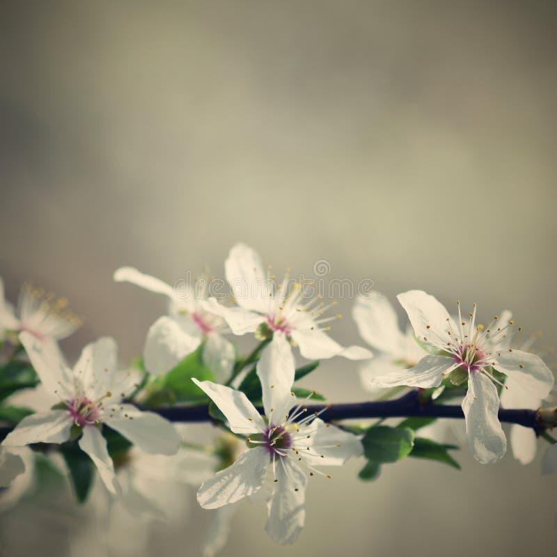 Όμορφο ανθίζοντας ιαπωνικό κεράσι Sakura Υπόβαθρο εποχής Υπαίθριο φυσικό θολωμένο υπόβαθρο με το ανθίζοντας δέντρο στοκ φωτογραφία με δικαίωμα ελεύθερης χρήσης