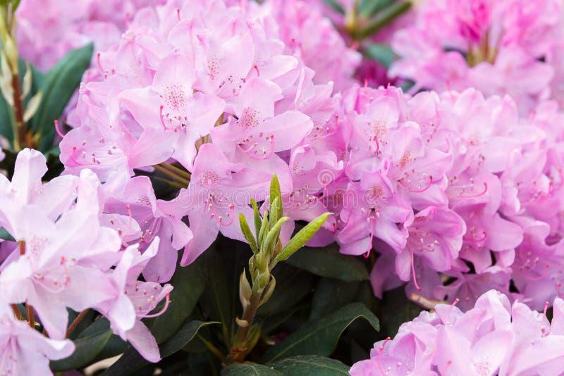 Όμορφο ανθίζοντας rhododendron με τα ρόδινα λουλούδια στοκ φωτογραφία
