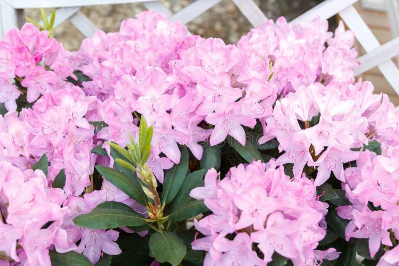 Όμορφο ανθίζοντας rhododendron με τα ρόδινα λουλούδια στοκ εικόνες με δικαίωμα ελεύθερης χρήσης