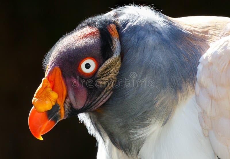 Όμορφο αρσενικό πουλί γύπων βασιλιάδων