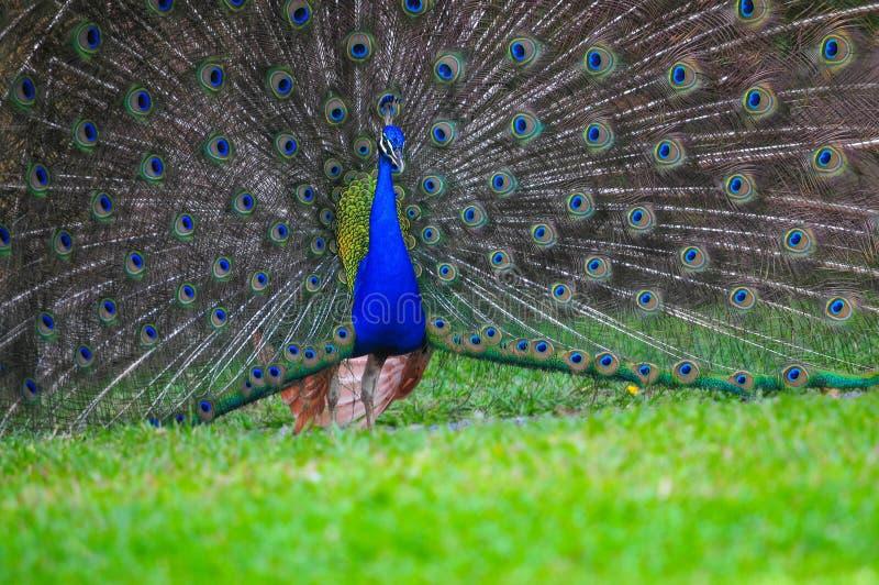 Όμορφο αρσενικό peacock που επιδεικνύει το φτέρωμά του στοκ φωτογραφία με δικαίωμα ελεύθερης χρήσης