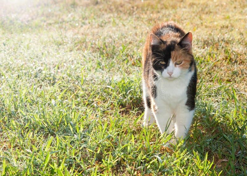 όμορφο βαμβακερού υφάσματος περπάτημα χλόης γατών δροσοσκέπαστο στοκ φωτογραφίες