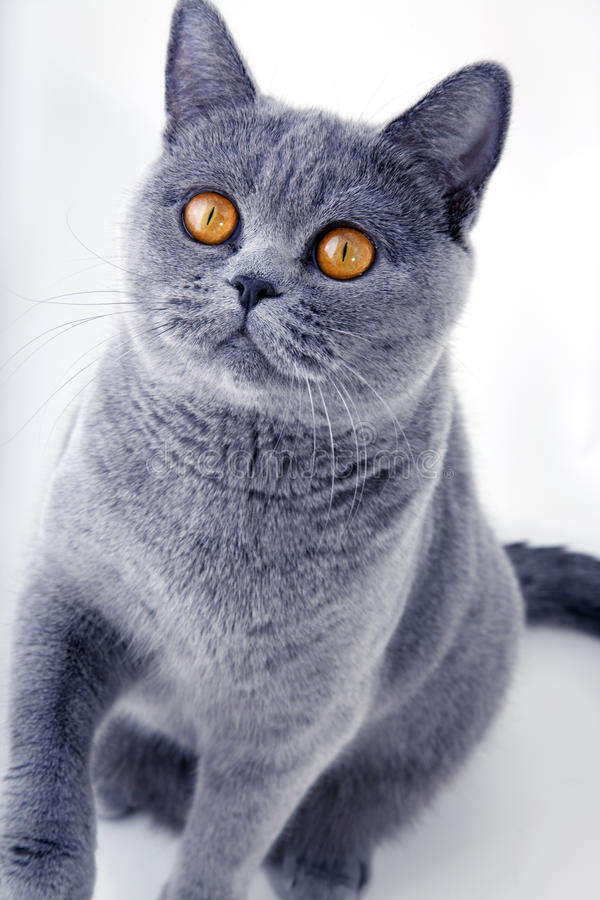 όμορφο βρετανικό γκρι γατ στοκ εικόνες με δικαίωμα ελεύθερης χρήσης