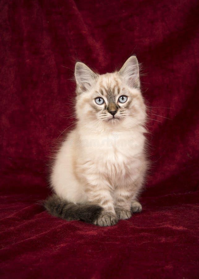 Όμορφο γατάκι μωρών ragdoll με τα μπλε μάτια που κάθονται burgundy στοκ εικόνα